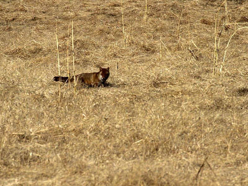 fox -3 [800x600].jpg