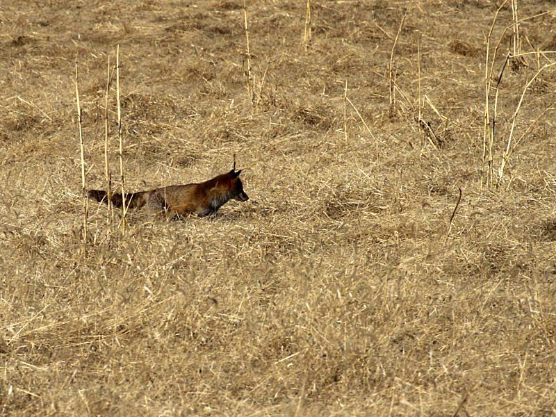 fox -4 [800x600].jpg