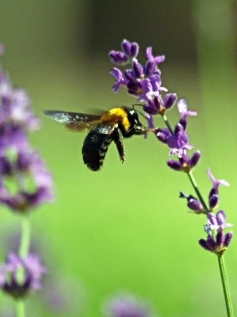 lavender-07 [640x480].JPG