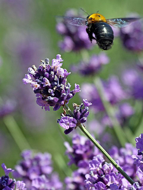 lavender-09 [640x480].JPG