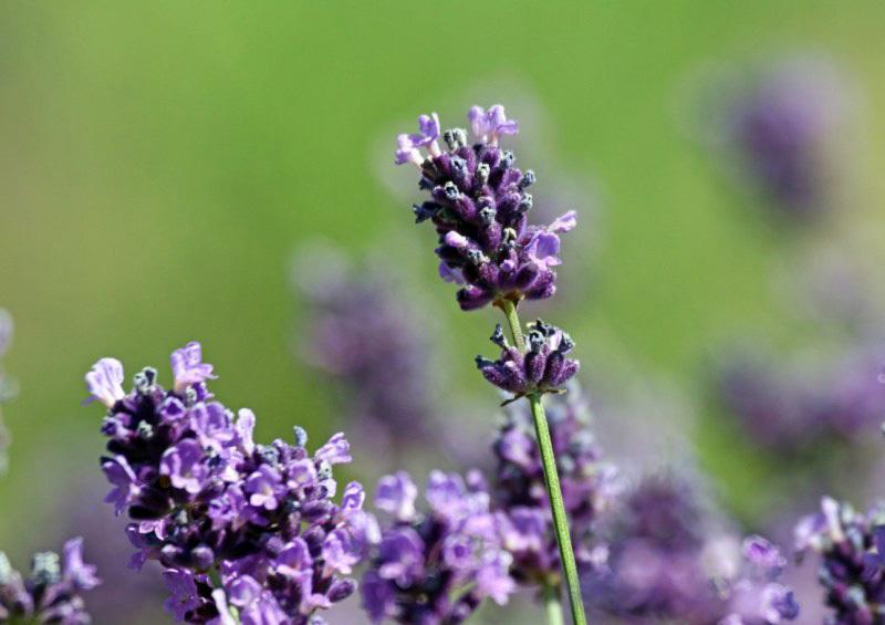 lavender-19 [800x600].jpg