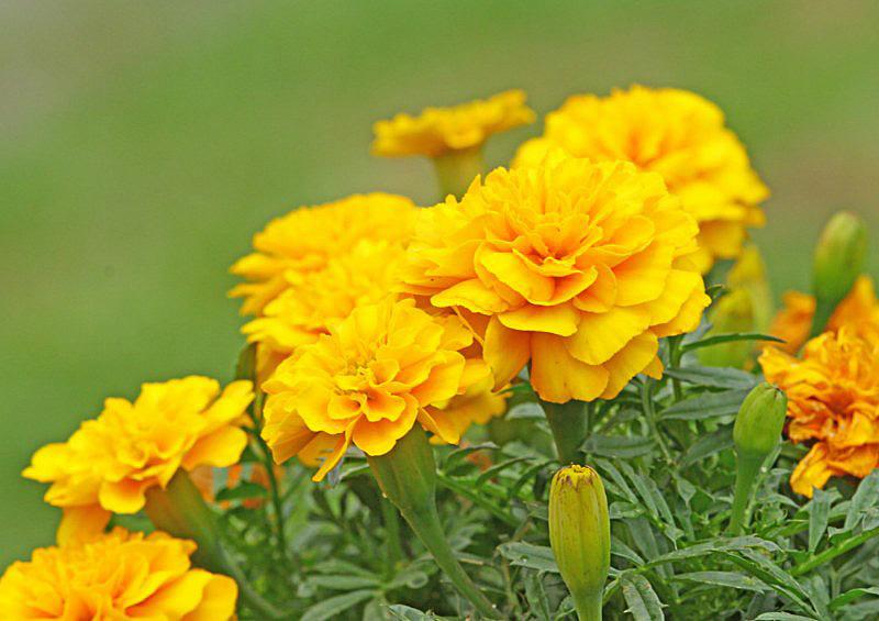 marigold-1 [800x600].jpg