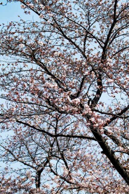 sakura-03 [640x480].JPG