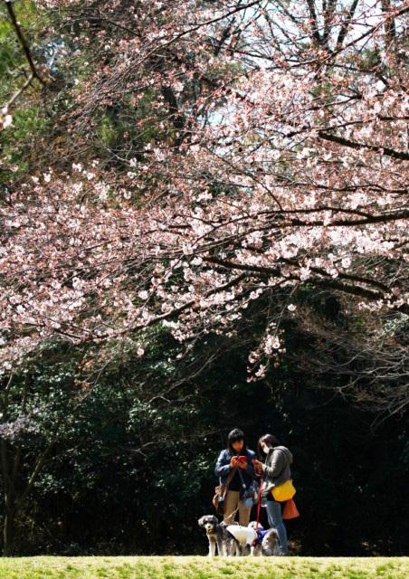 sakura-05 [640x480].JPG