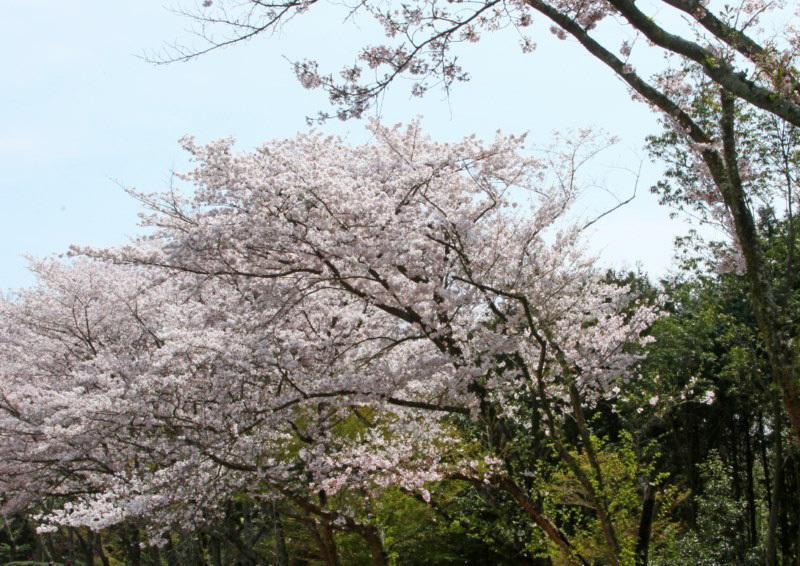 sakura-1 [800x600].jpg