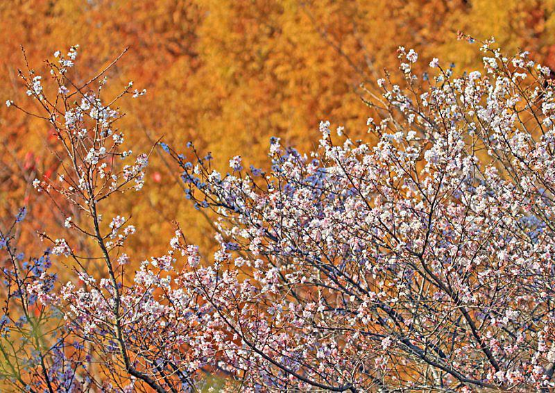 sakura-41 [800x600].jpg