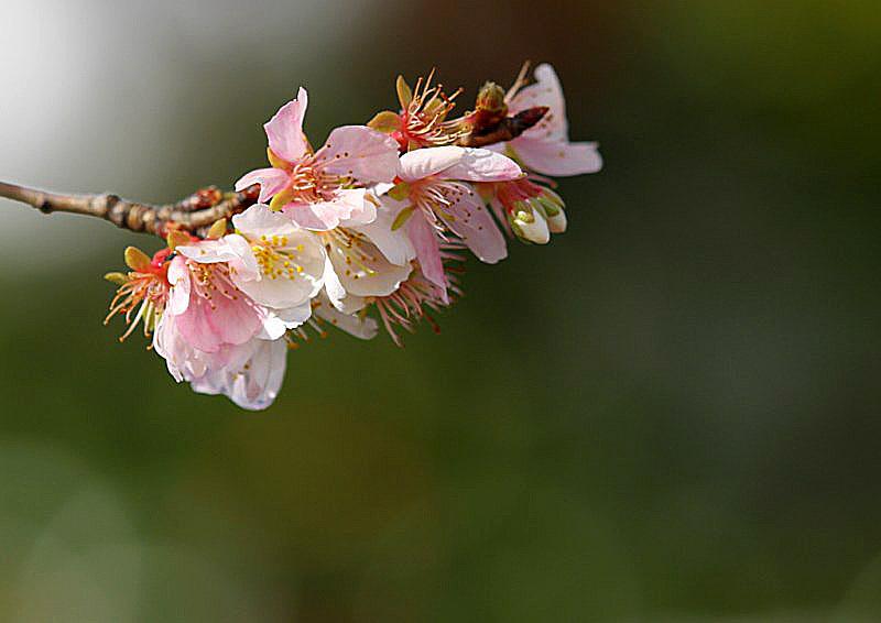 sakura-9 [800x600].jpg
